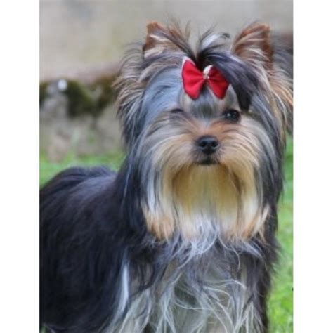 alabama yorkie breeders medallion yorkies terrier breeder in huntsville alabama