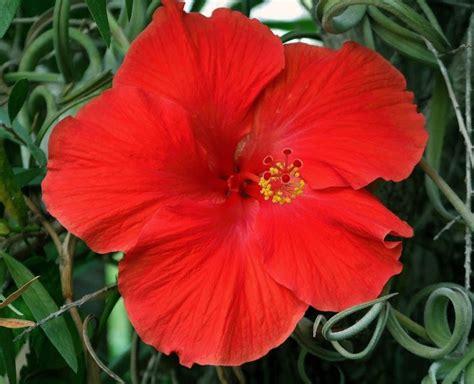 hibiscus fiori piante esterno fiorista piante da esterno