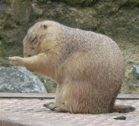 zoologischer garten berlin erdmännchen meditierendes erdm 228 nnchen tier fotos eu