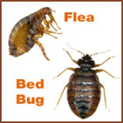 flea vs bed bug fleas vs bed buds differences between fleas and bed bugs