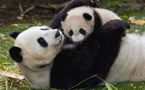 Panda and Baby wallpapers and images - wallpapers ...