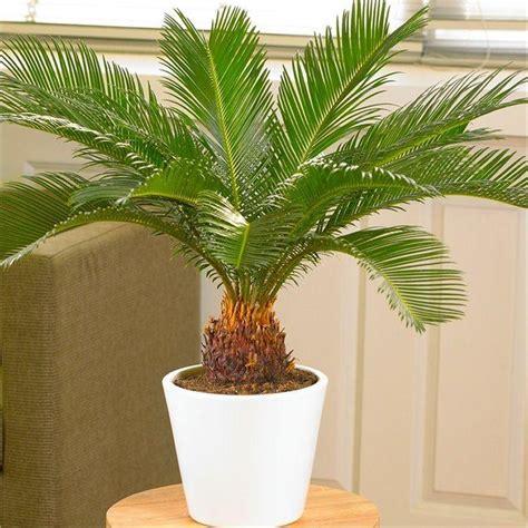 Cycas Revoluta Kaufen by Cycad Cycas Revoluta King Sago Palm Tree