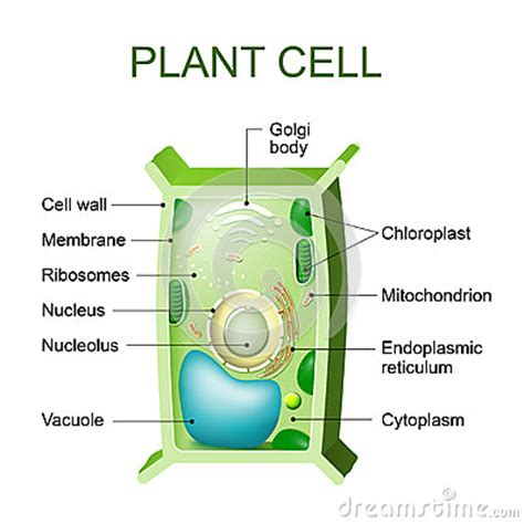 plant cell cross section plant cell anatomy stock vector image 76671566