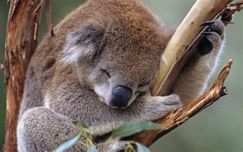 green koala wallpaper sleeping koala wallpaper animal wallpapers 10560