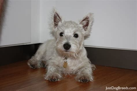 small white breeds black and white small breeds quotes
