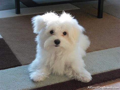 list of small dogs small breeds breeds picture
