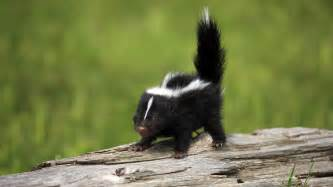 baby skunk wallpapers baby animals