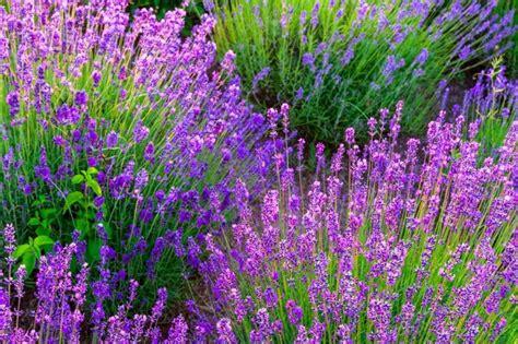 lavendel im garten lavendel schneiden wichtige pflegetipps f 252 r die sch 246 ne