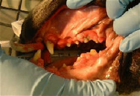 puppy teeth falling out bleeding dental problems of dogs cats