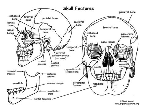 anatomy and physiology coloring book skeletal system 135 best human anatomy images on human