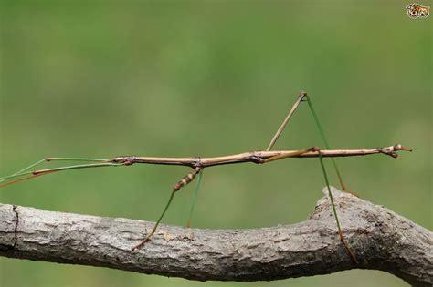 thebestartt com stick insect