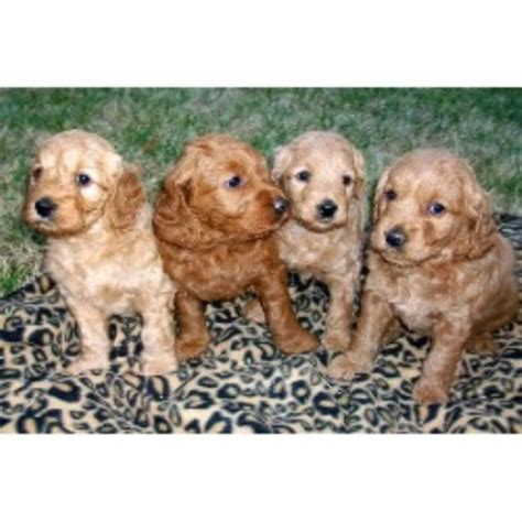 free puppies greensboro nc miller s gorgeous goldendoodles goldendoodle breeder in greensboro carolina