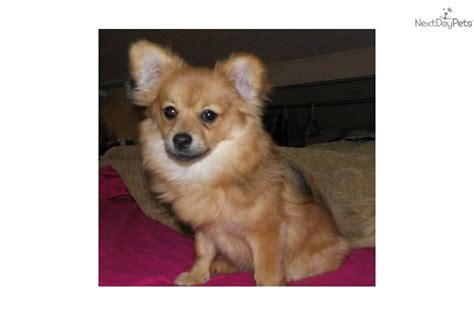 pomeranian rescue pomeranian puppy for adoption near 34f9da42 5eb2
