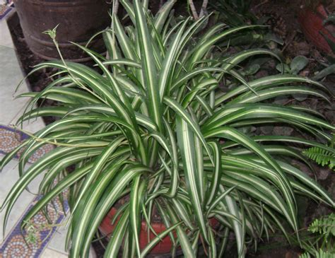spider plant 10 houseplants that detox your home texila connect