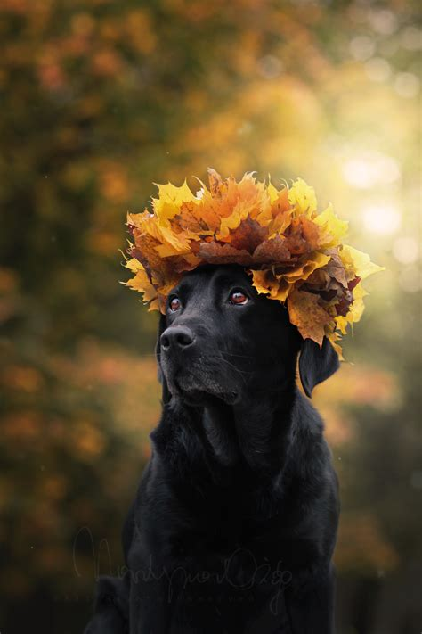puppy fell on photo zsazsa bellagio autumn labradors and