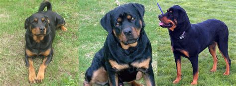 rottweiler puppies for adoption in michigan rottweiler puppies for adoption in oregon breeds picture