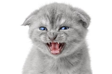 how to your to growl let s talk cat growling why does your cat growl and how should you react catster
