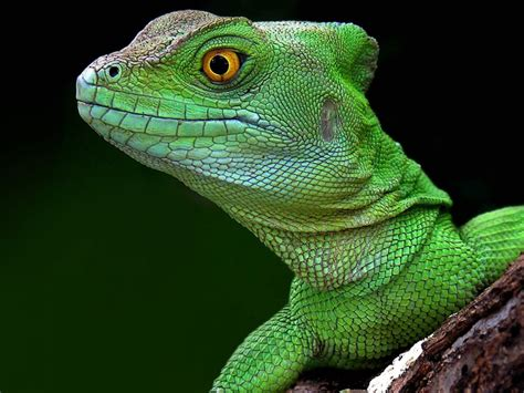 green lizard head  close wallpaper hd