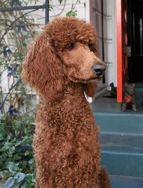 french poodle cuts 4010 best images about poodles poodles poodles on