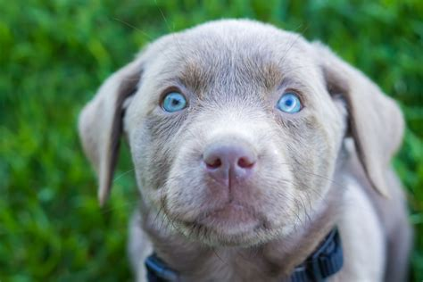silver lab puppies price silver lab puppies for sale driverlayer search engine