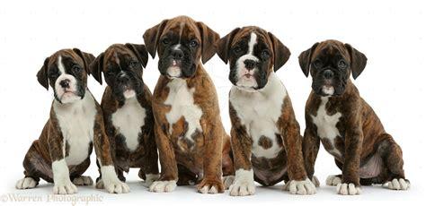 pics of boxer puppies boxer puppies photos