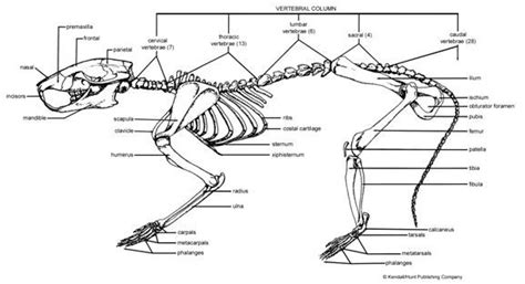 squirrel anatomy diagram squirrel anatomy diagram rat dissection protocol intro