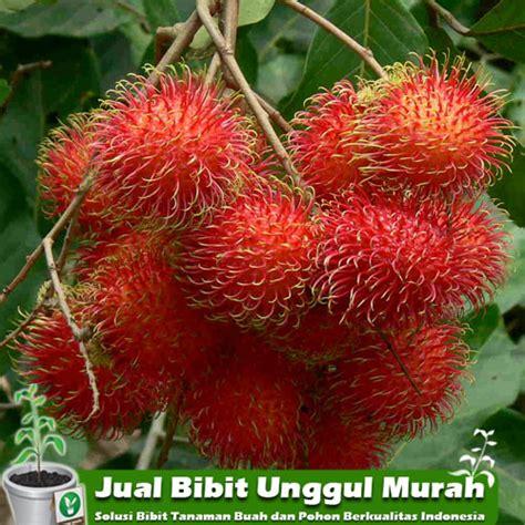 Bibit Biji Rambutan jual bibit tanaman rambutan unggul murah agro bibit id