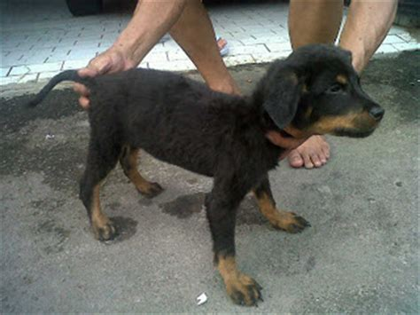 rottweiler weight rottweiler height 23 27 inches rottweiler weight 90 160 lbs rottweiler breeds