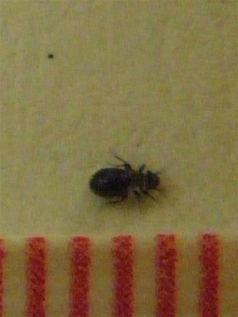 bugs in bathroom at night natureplus tiny black beetles everywhere what are they