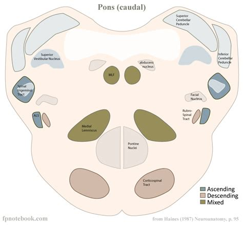 pons transverse section pons