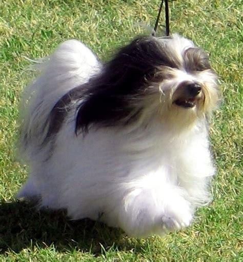 havanese silk silk dogs havanese our current chions