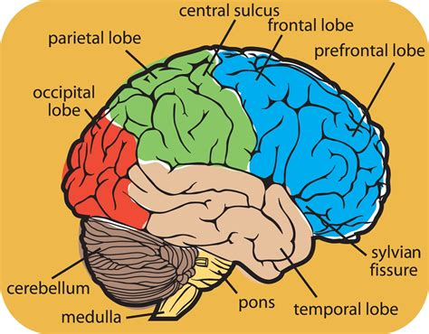 brain diagram for brain teasers spot the difference sharpbrains