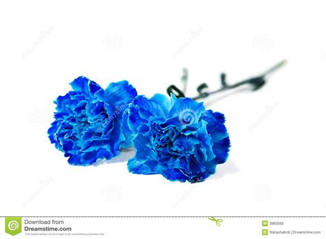 blue carnation stock image image of valentine bright