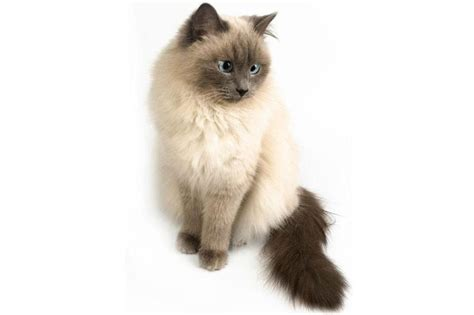 himalayan cats himalayan cat pictures slideshow