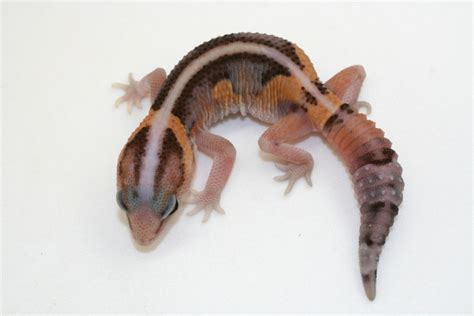 crested gecko care page 11
