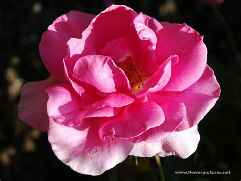 Pictures Of Gardens And Flowers by Pictures Of Rose Flowers Grandiflora Earth Song