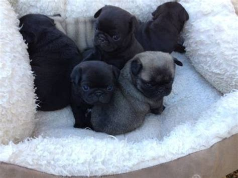 pug pi pug puppies must dogs especially pugs pi