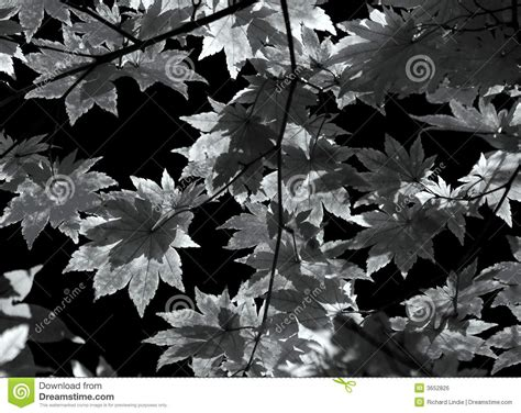 Autumn Black autumn leaves background in black and white royalty free