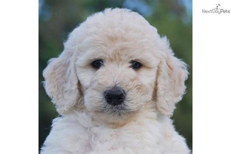 Non Shedding Labradoodle by Meet Cotton Puff A Labradoodle Puppy For Sale For