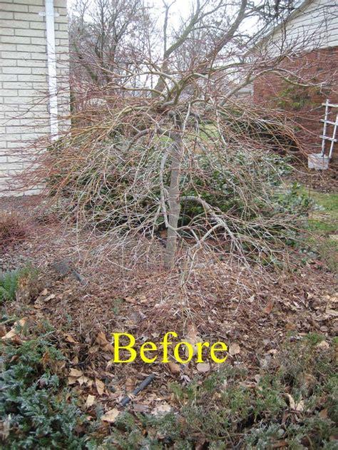 spring pruning laceleaf japanese maple livonia mi tree service livonia michigan