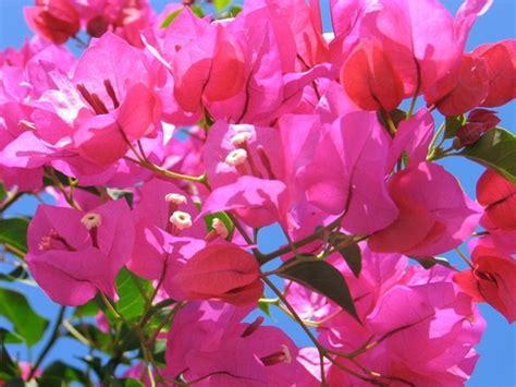 bouganville fiore coltivazione bouganville fiori da giardino coltivare