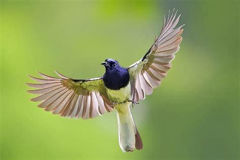 Krodong Burung trend burung kicau harga murah di bogor dan kontes burung kicaumania burung kicau dunia