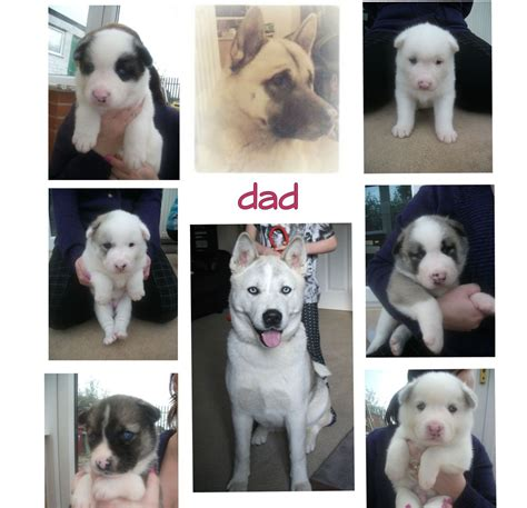 huskita puppies for sale blue eyed huskita akita x husky puppies for sale mansfield nottinghamshire