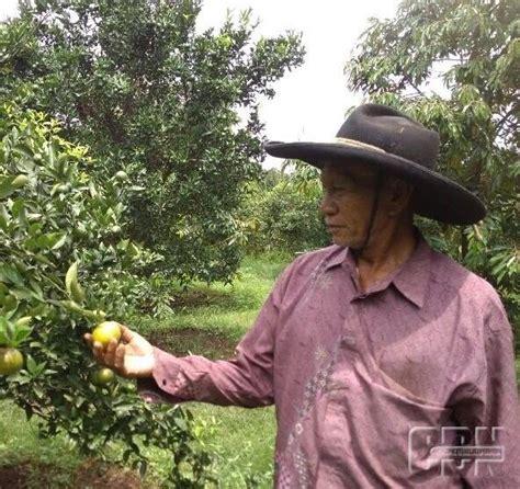 Minyak Zaitun Di Malang hama cabuk dan lalat buah ancaman bagi petani jeruk di malang cendana news
