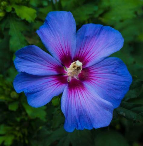blue and purple hibiscus flower purple hawaiian flowers clip art
