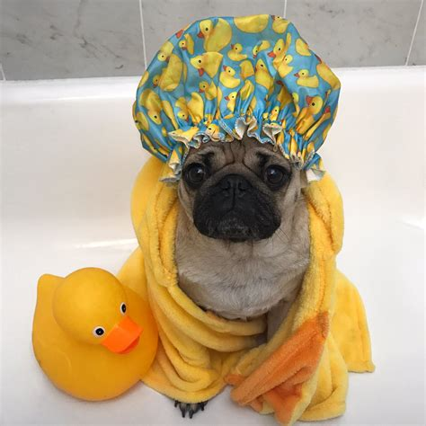 pug status doug the pug on quot if taking a shower is all i do today i m completely