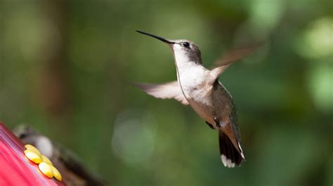tracking hummingbirds in northern mississippi audubon