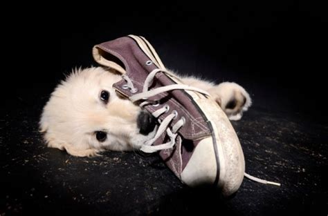 how to a to stop chewing shoes stop barking at strangers on walks how to stop chewing shoes