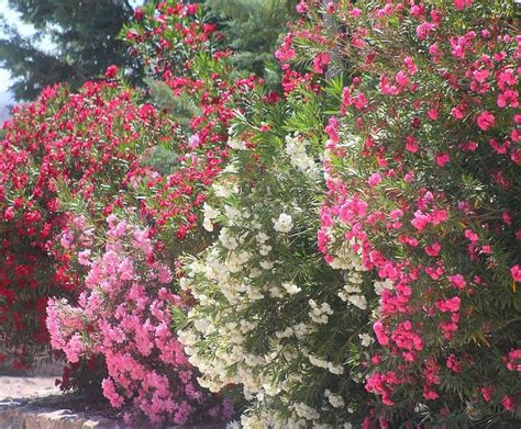 flowering summer shrubs flowering shrubs summer color that beats the heat 171 plant