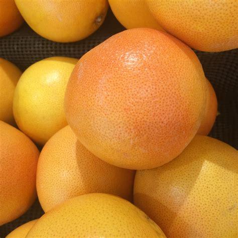 Bibit Unggul Lemon Tea tanaman buah jeruk lemon impor daftar update harga